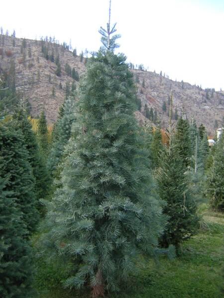 Shelton S Tree Farm Tree Types Care